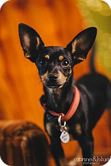 Rat Terrier/Chihuahua Mix Dog for adoption in Portland, Oregon - Batina