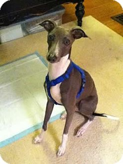 Italian Greyhound Mix Puppy for adoption in Avon, New York - Pogo