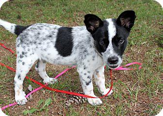 PUPPY ARLIE | Adopted Puppy | Salem, NH | Australian ... Border Collie Australian Cattle Dog Lab Mix