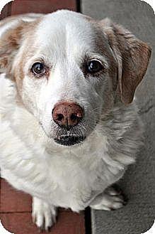 Basset Hound/Hound (Unknown Type) Mix Dog for adoption in Fairfax Station, Virginia - Rizzo