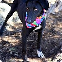 Adopt A Pet :: Sundancer - Wheat Ridge, CO