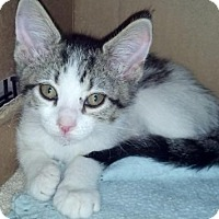 Adopt A Pet :: PATTY CAKE-Coming Soon!! - Scottsdale, AZ
