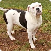 Adopt A Pet :: Shotzie - Portland, ME