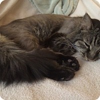Maine Coon Cat for adoption in Mesa, Arizona - Dobby