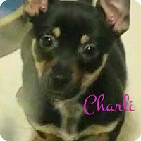 Adopt A Pet :: Charli - House Springs, MO