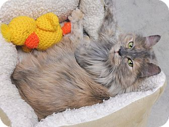 Domestic Longhair Cat for adoption in Creston, British Columbia - Honey
