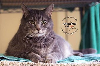 American Shorthair Cat for adoption in Belton, Missouri - Max