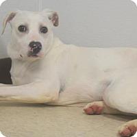 Adopt A Pet :: Sugarbear - Mocksville, NC