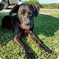 Adopt A Pet :: Ebony - Brattleboro, VT