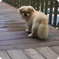 Pekingese Dog for adoption in Oakdale, Tennessee - Scooter