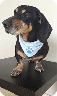 Dachshund Dog for adoption in Weston, Florida - Heathcliff