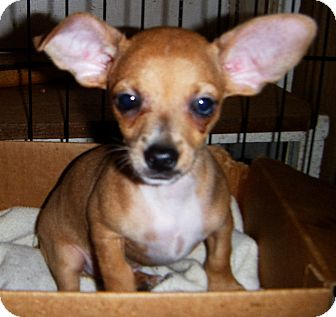 Dachshund/Chihuahua Mix Puppy for adoption in Mansfield, Texas - Dinkie
