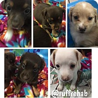 Adopt A Pet :: HAVEN Puppies - Pompton Lakes, NJ