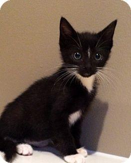 Domestic Shorthair Kitten for adoption in Mayflower, Arkansas - Lucy