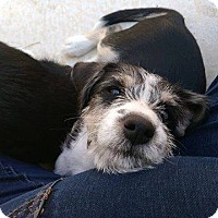 Terrier (Unknown Type, Medium) Dog for adoption in New York, New York - Biscuit