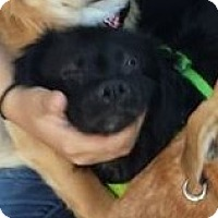 Cockapoo Mix Puppy for adoption in El Cajon, California - Tina Turner-Pending adoption