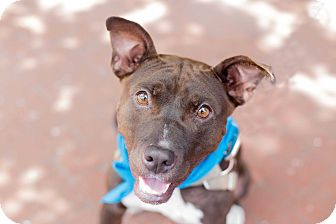 Pit Bull Terrier Mix Dog for adoption in Washington, D.C. - Mockingjay