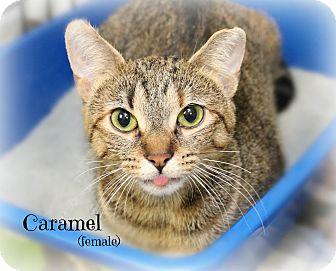 Domestic Shorthair Cat for adoption in Glen Mills, Pennsylvania - Caramel