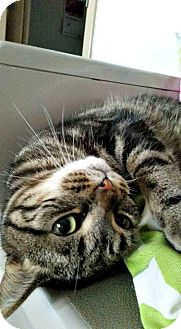 Domestic Shorthair Cat for adoption in Chesapeake, Virginia - Ariel