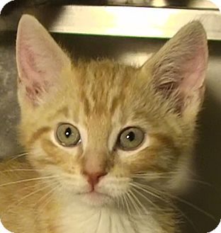 Domestic Shorthair Kitten for adoption in El Cajon, California - Philip (Rivers)