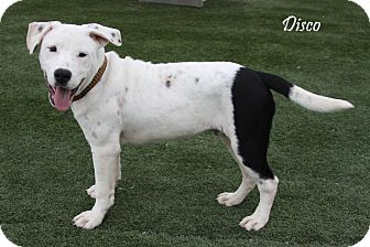 Pit Bull Terrier Mix Puppy for adoption in Rockwall, Texas - Disco