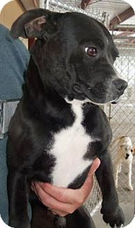 french bulldog lab mix simon adopted dog cleveland ga french bulldog labrador retriever mix 631