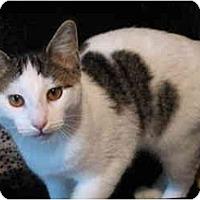 Adopt A Pet :: Opie kitten - Cincinnati, OH