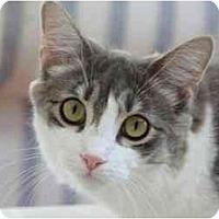 Adopt A Pet :: Shirley Temple - Bonita Springs, FL