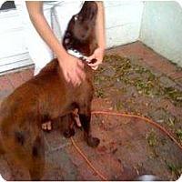 Adopt A Pet :: Allie - Altmonte Springs, FL