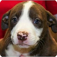 Adopt A Pet :: Lacey - Reisterstown, MD