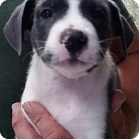 Adopt A Pet :: Cupcake - Gainesville, FL