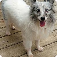 Adopt A Pet :: Tobee - Mission, KS