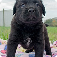 Adopt A Pet :: Cadence $250 - Seneca, SC