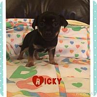 Adopt A Pet :: Ricky - Brea, CA