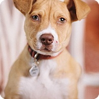 Adopt A Pet :: Petri - Portland, OR