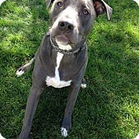 American Pit Bull Terrier/Retriever (Unknown Type) Mix Dog for adoption in Ojai, California - FITZ