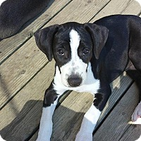 Adopt A Pet :: Patches - Dayton, OH