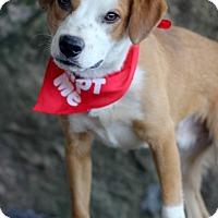 Adopt A Pet :: Lance - Dalton, GA