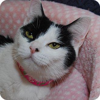 Domestic Shorthair Cat for adoption in Fairfax, Virginia - Sylvie