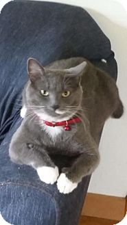 Domestic Shorthair Cat for adoption in Indianapolis, Indiana - Mittens
