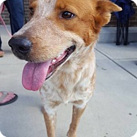 Cattle Dog Mix Dog for adoption in Waxhaw, North Carolina - Pumpkin