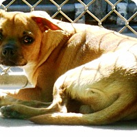 Chihuahua/Pug Mix Puppy for adoption in Redding, California - Barry