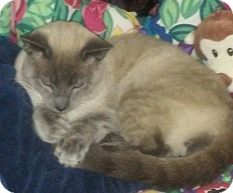 Siamese Cat for adoption in Barrington, New Jersey - Simon