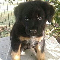 St. Bernard Mix Puppy for adoption in Albany, New York - Lissette (adoption is pending)
