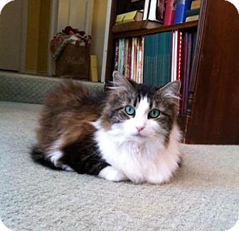 Maine Coon Cat for adoption in Richardson, Texas - Daisy McFluffin