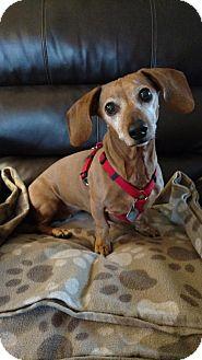 Dachshund Dog for adoption in Sioux Falls, South Dakota - Bella