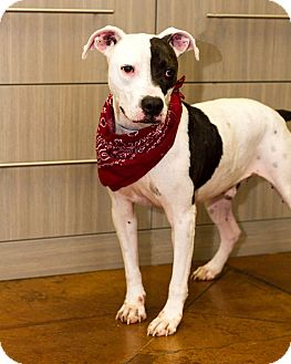 Pit Bull Terrier/Hound (Unknown Type) Mix Dog for adoption in Baton Rouge, Louisiana - Deuce