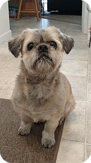 Lhasa Apso Dog for adoption in Wapwallopen, Pennsylvania - Molly - 13 - Adoption Pending