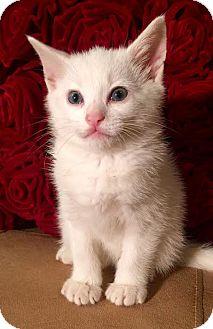 Domestic Mediumhair Kitten for adoption in Dallas, Texas - CHRISTIAN