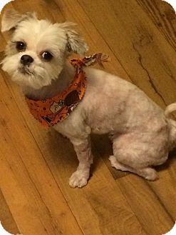Shih Tzu Dog for adoption in Homer Glen, Illinois - Kyra